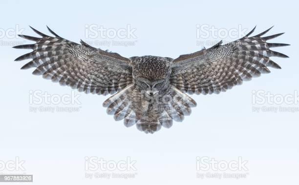 Great grey owl picture id957883926?b=1&k=6&m=957883926&s=612x612&h=3491xrv4srxuq5xg8mfacrjxfhh7vclikrflij2itny=