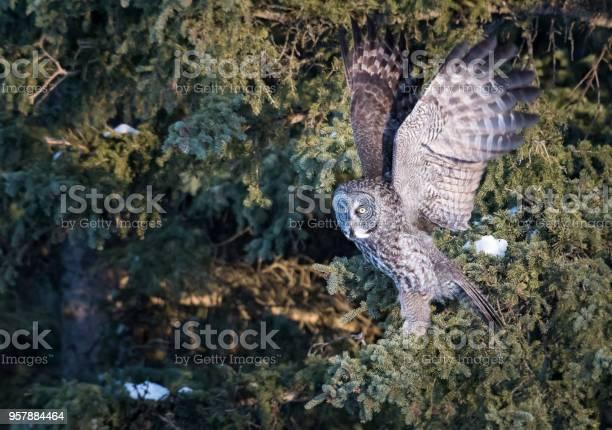 Great grey owl picture id957884464?b=1&k=6&m=957884464&s=612x612&h=s1o1bgexesrmkbwskpwga45tehkqzuez2nlvjut67ii=