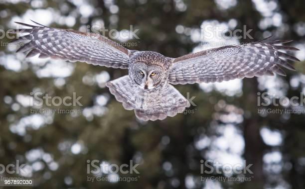 Great grey owl picture id957892030?b=1&k=6&m=957892030&s=612x612&h=xq an15jlmbxkgqmjqexwc92h04ggfhvzitd gmioc0=