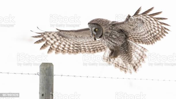 Great grey owl picture id957892626?b=1&k=6&m=957892626&s=612x612&h=cpbpggco5mpnbn42u0lgqxzzntbilijkhjixct4zequ=