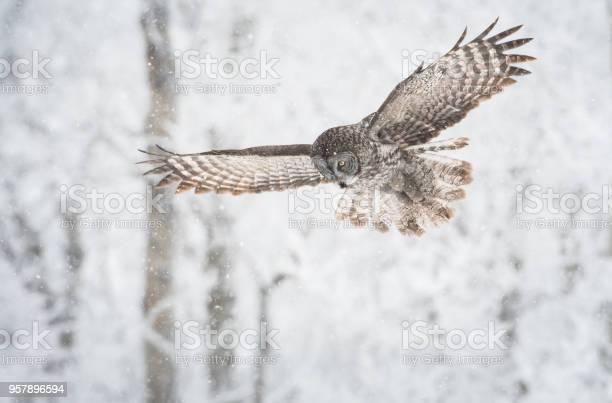 Great grey owl picture id957896594?b=1&k=6&m=957896594&s=612x612&h=683pvieuh9mk2akjq6ort9rj ihw30yvsuqpkkys6ko=