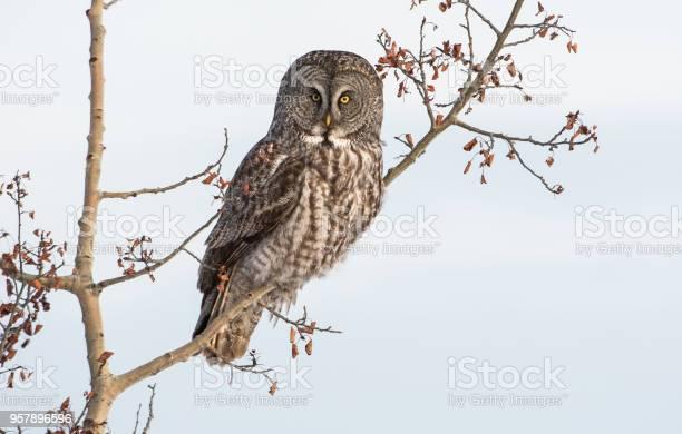 Great grey owl picture id957896596?b=1&k=6&m=957896596&s=612x612&h=5uu7uzfl9uytvzmzozpoj73tet7ul0isyvoqbgcjhdq=