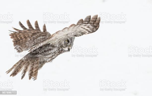 Great grey owl picture id957896772?b=1&k=6&m=957896772&s=612x612&h=tfncjuye1bwmgv0xxmsaxsy1dqgnwrnpy16vjexdap4=
