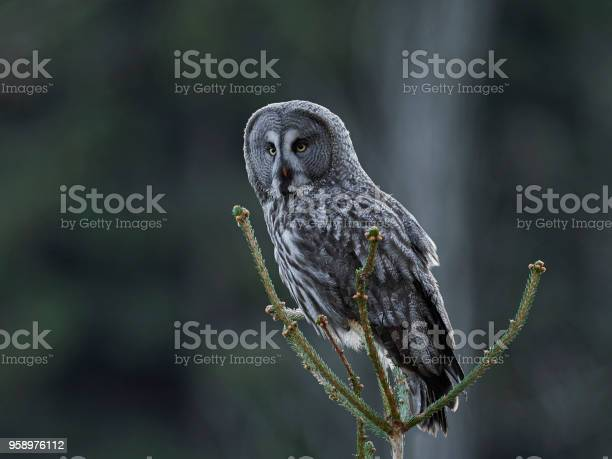 Great grey owl picture id958976112?b=1&k=6&m=958976112&s=612x612&h=9mcp887n1rvgfi4cenhdrm3k7ej8f2i oxjxmhererg=