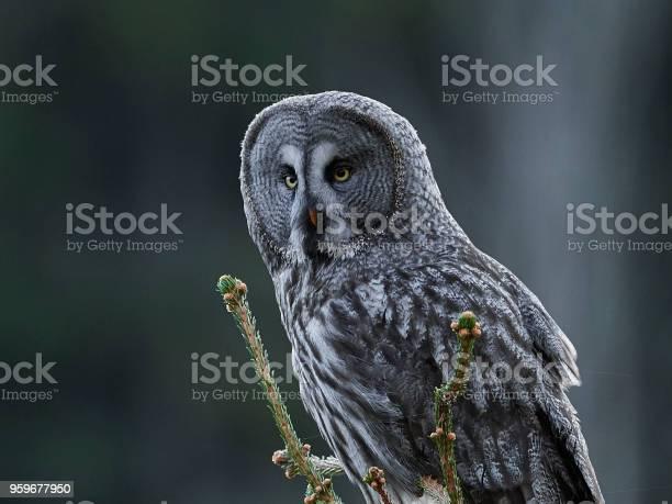 Great grey owl picture id959677950?b=1&k=6&m=959677950&s=612x612&h=0nsi6urh 1dndvhscckainijgcevxpnqdr9ul9bvnh4=