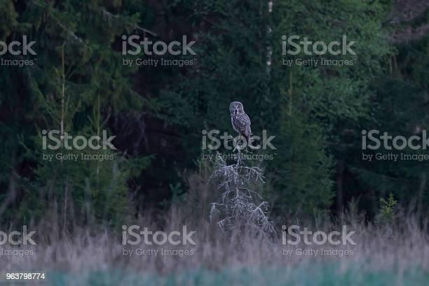 Great grey owl picture id963798774?b=1&k=6&m=963798774&s=612x612&h=8vnlr7y2s dnl ulv0nvmkphsfsdkmhzfscx tcwu6y=