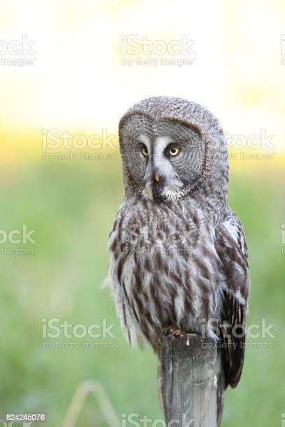 Great grey owl sweden bartkauz schweden picture id824245076?b=1&k=6&m=824245076&s=612x612&h=ageh ajbo002tmwpnojrjrakajdahticklqjqvw3abo=