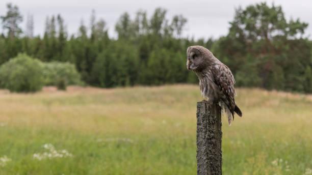 Great Grey Owl Sweden stock photo