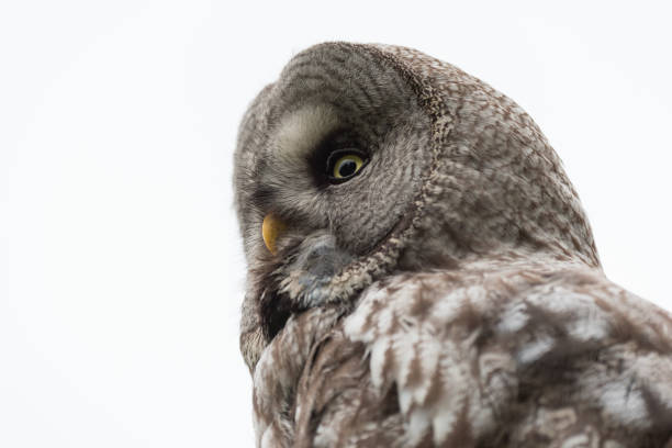 Great Grey Owl Sweden stock photo