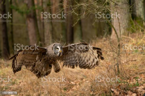 Great grey owl with wide wingspan landing in the forest picture id1207369773?b=1&k=6&m=1207369773&s=612x612&h=icxfxcp7mz8toxzw1cgfykizm5guf5fnqjoehxxgwky=