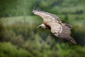 Beautiful griffon vulture flying above the forest