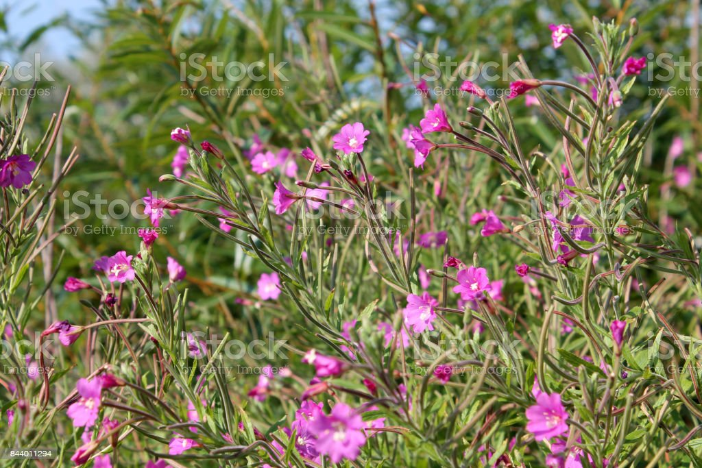 Great hairy willowherb in wild nature plant with small pink flowers great hairy willowherb epilobium hirsutum in wild nature plant with small pink flowers mightylinksfo