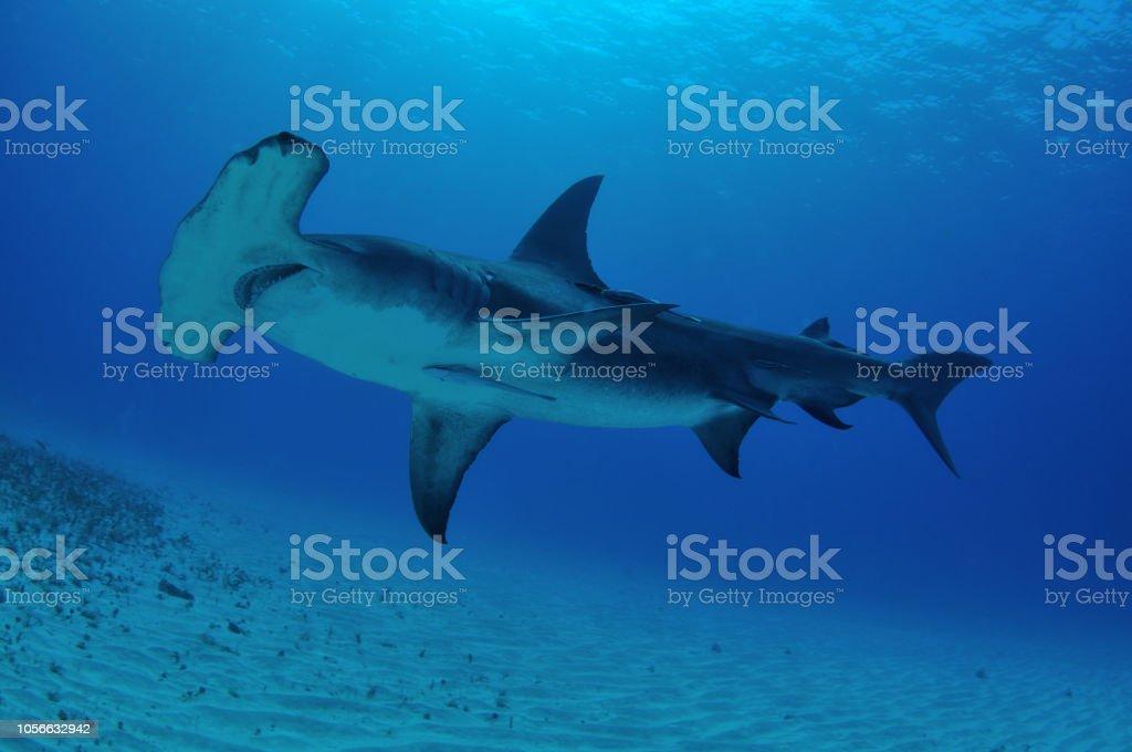Great hammerhead shark, Bimini, Bahamas stock photo