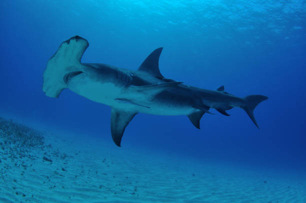 Great hammerhead shark, Bimini, Bahamas