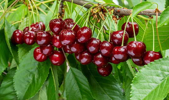 A great harvest of ripe red cherries on a tree branch.