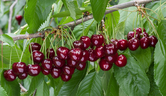 Great harvest of ripe red cherries on a tree branch. Selective focus