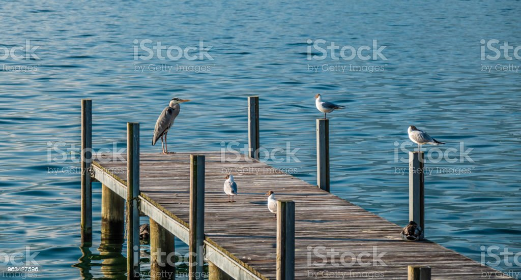 Great heron and black-headed gulls on a boat dock in Hurden, a gorgeous medieval village on the shores of the Upper Zurich Lake (Obersee) between the cantons of Schwyz and Sankt Gallen, Switzerland - Zbiór zdjęć royalty-free (Alpy)