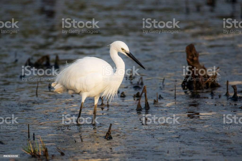 Great Heron stock photo