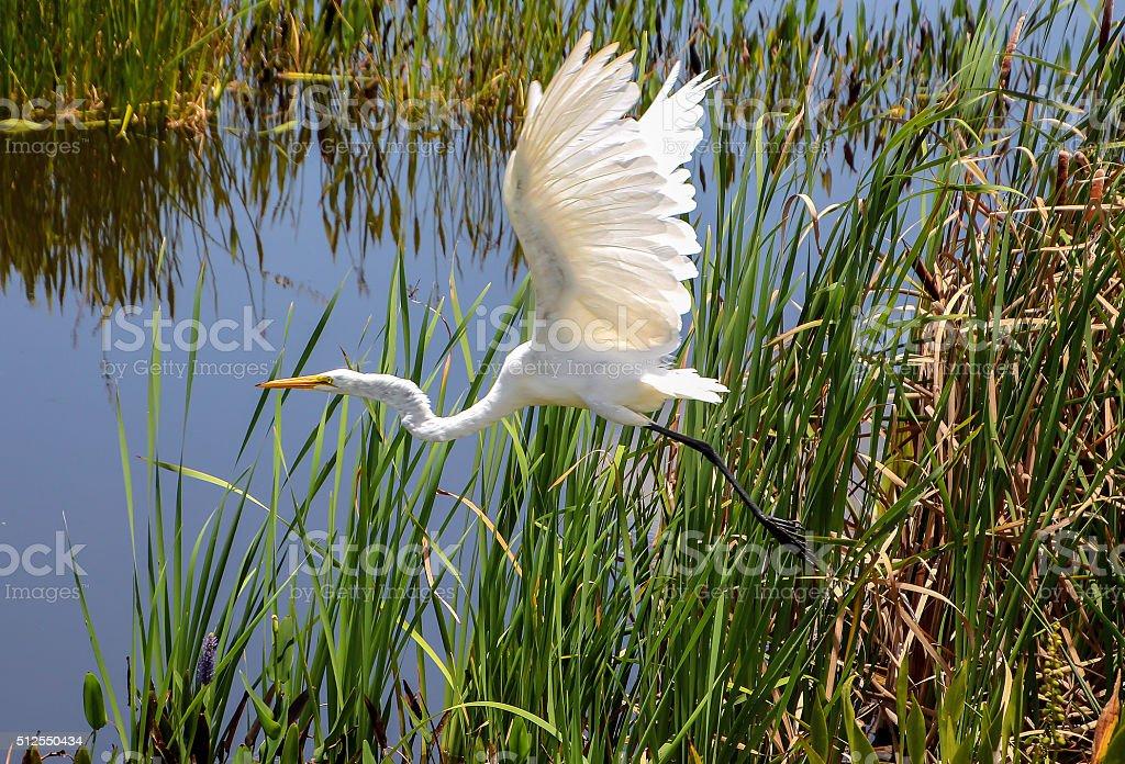 great heron taking off stock photo