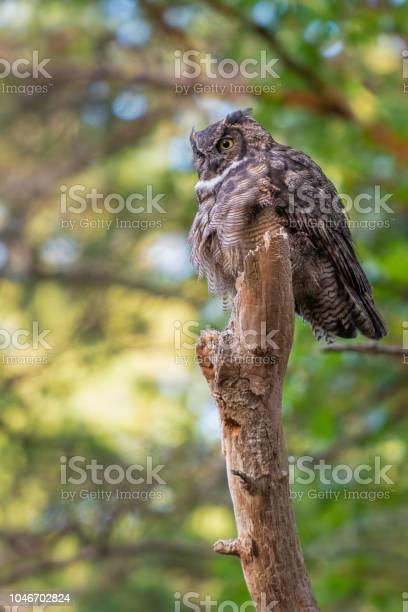 Great horn owl picture id1046702824?b=1&k=6&m=1046702824&s=612x612&h=fbf1xus7uxzgrrs4xpek gql3axy5csmfirjgcpp0sc=