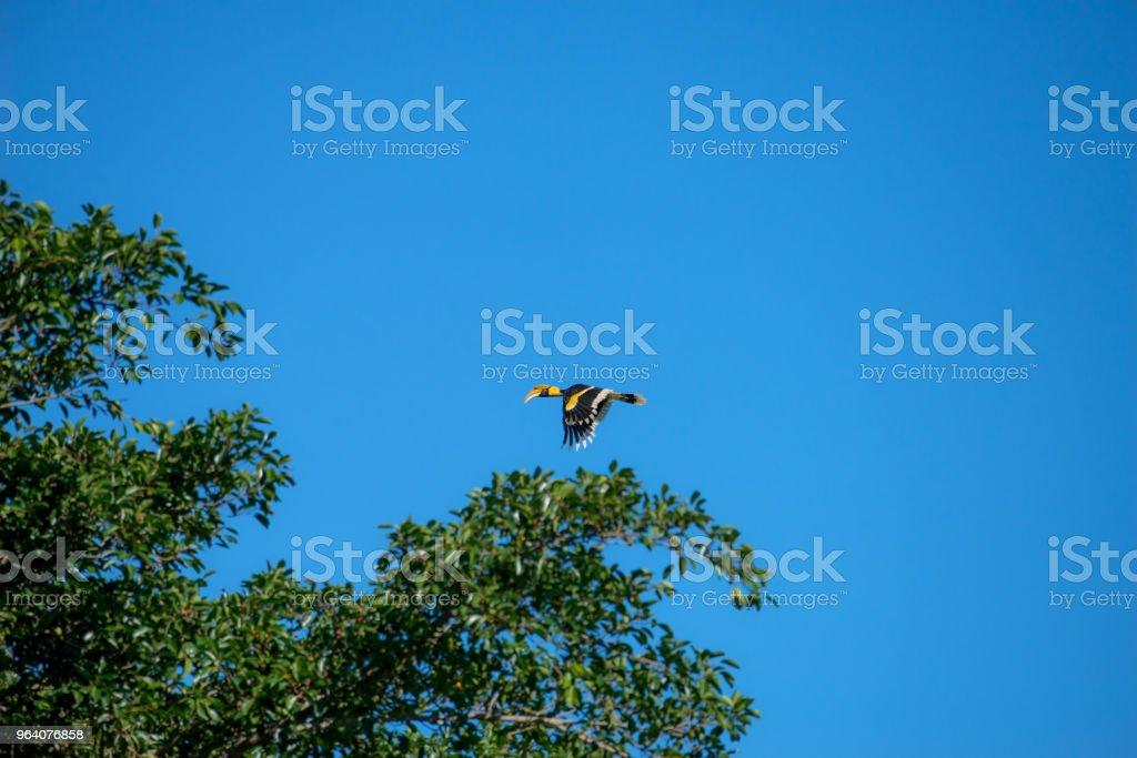 great hornbill at Khao Yai national park, THAILAND - Royalty-free Animal Stock Photo