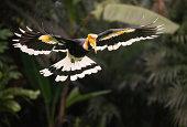 istock Great Hornbill (Buceros bicornis) Bird in Flight, Rainforest 184992884