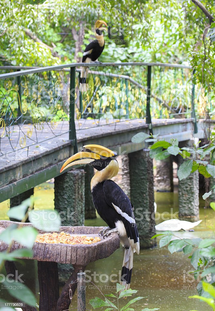 great hornbill bird royalty-free stock photo