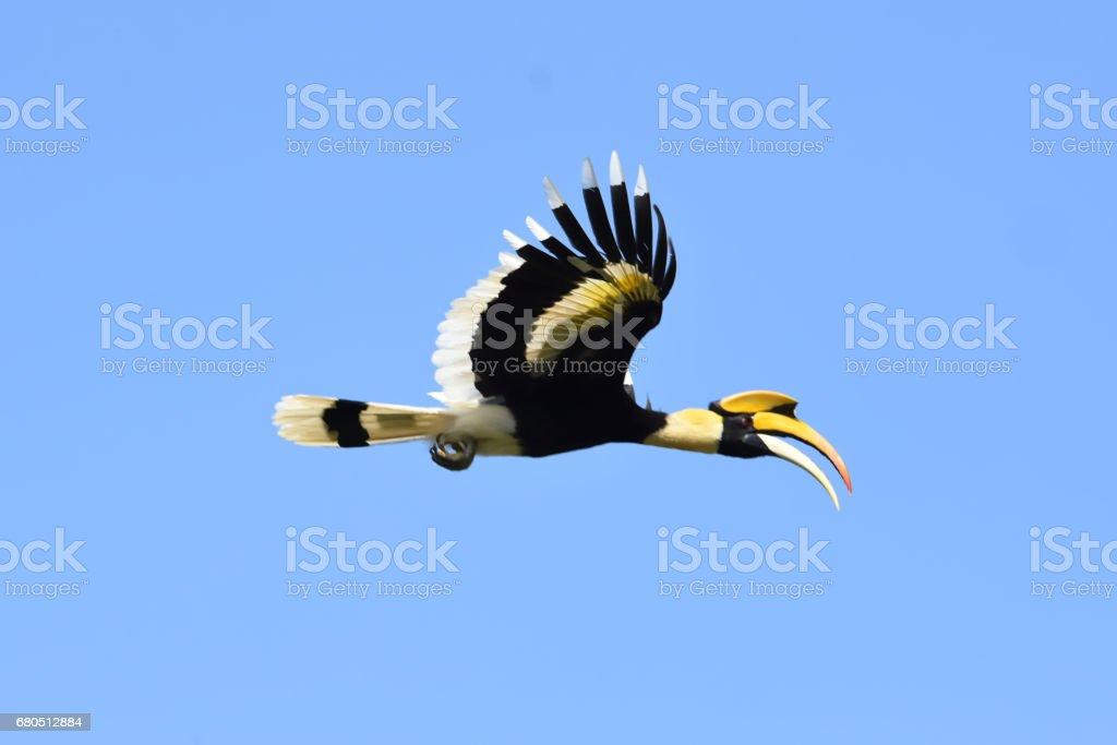 Great hornbill flying on blue sky background stock photo
