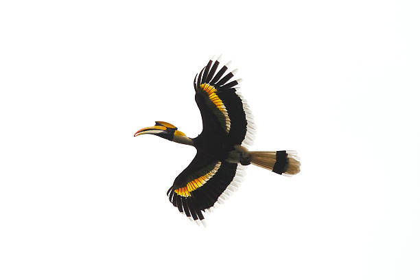 Great Hornbill stock photo