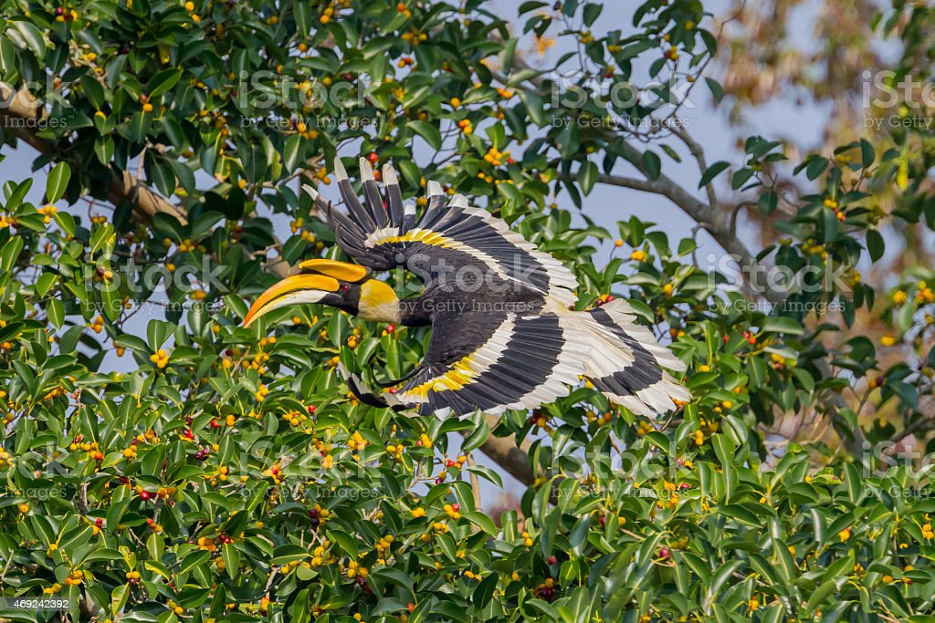 Great hornbill (Buceros bicornis) stock photo