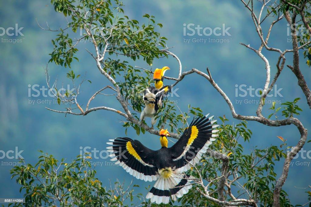 Great hornbill stock photo