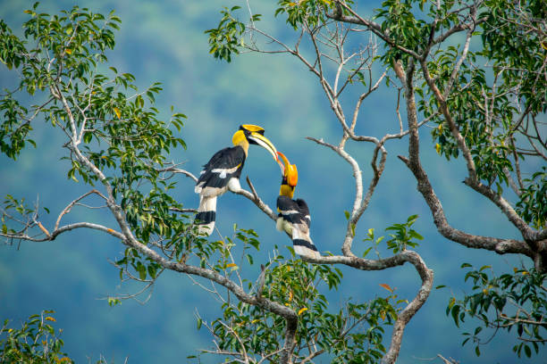 Great hornbill Lovers of Great hornbill are cheerful island of borneo stock pictures, royalty-free photos & images