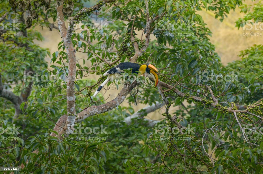 Great Hornbill royalty-free stock photo