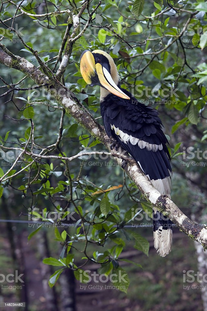 Great Hornbill preen its feather royalty-free stock photo