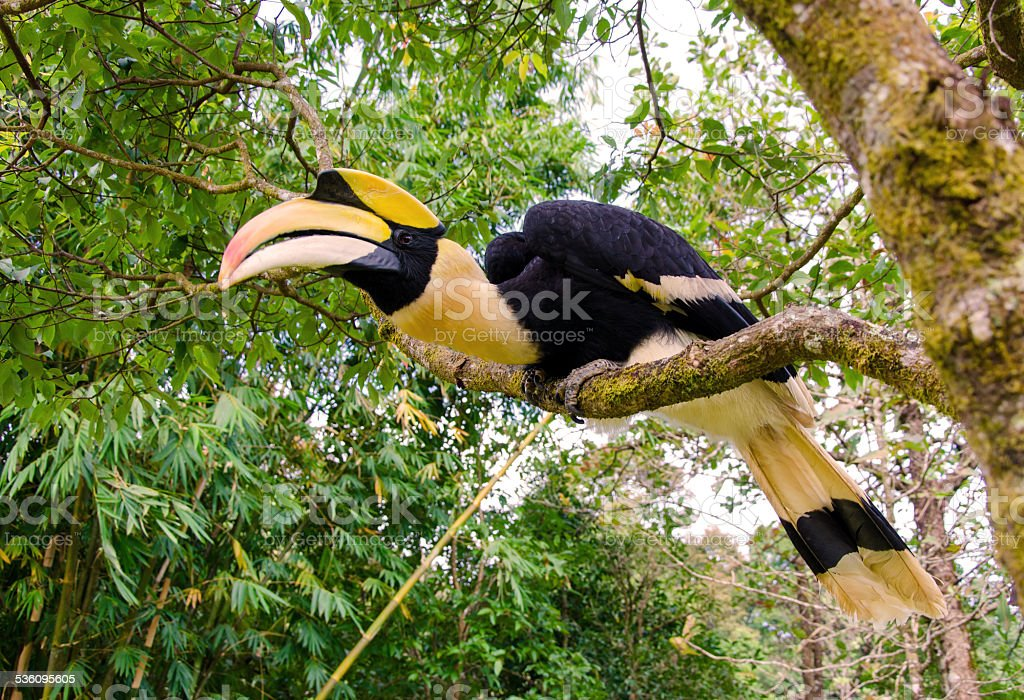 Great hornbill stand on the branch in forest stock photo