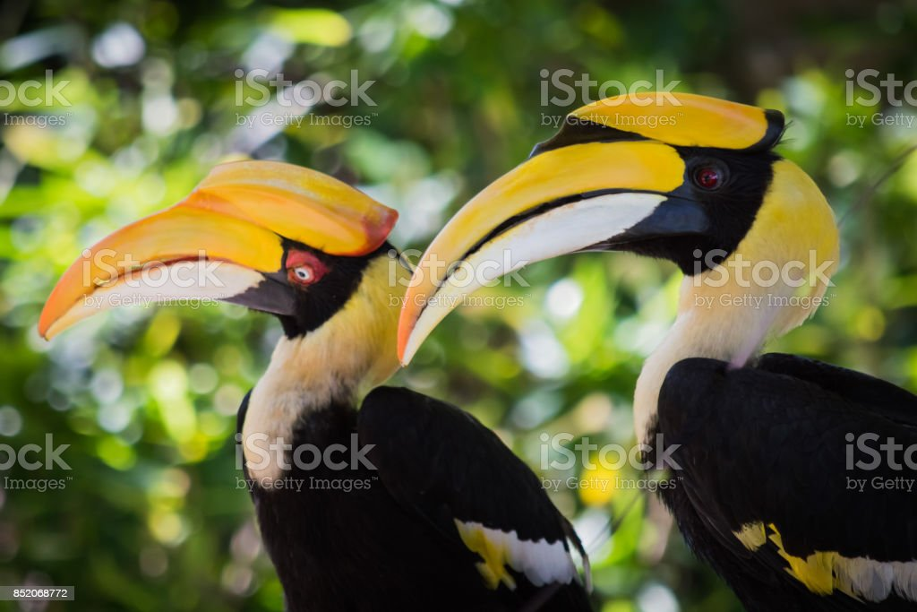 Great Hornbills courting on the beach stock photo