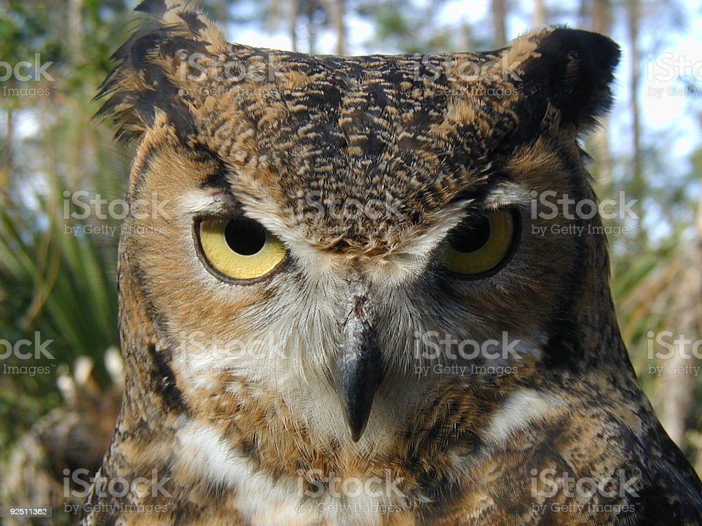 Great Horned Owl 2 royalty-free stock photo
