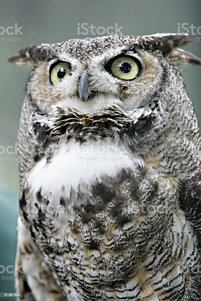 Great Horned Owl 4 royalty-free stock photo