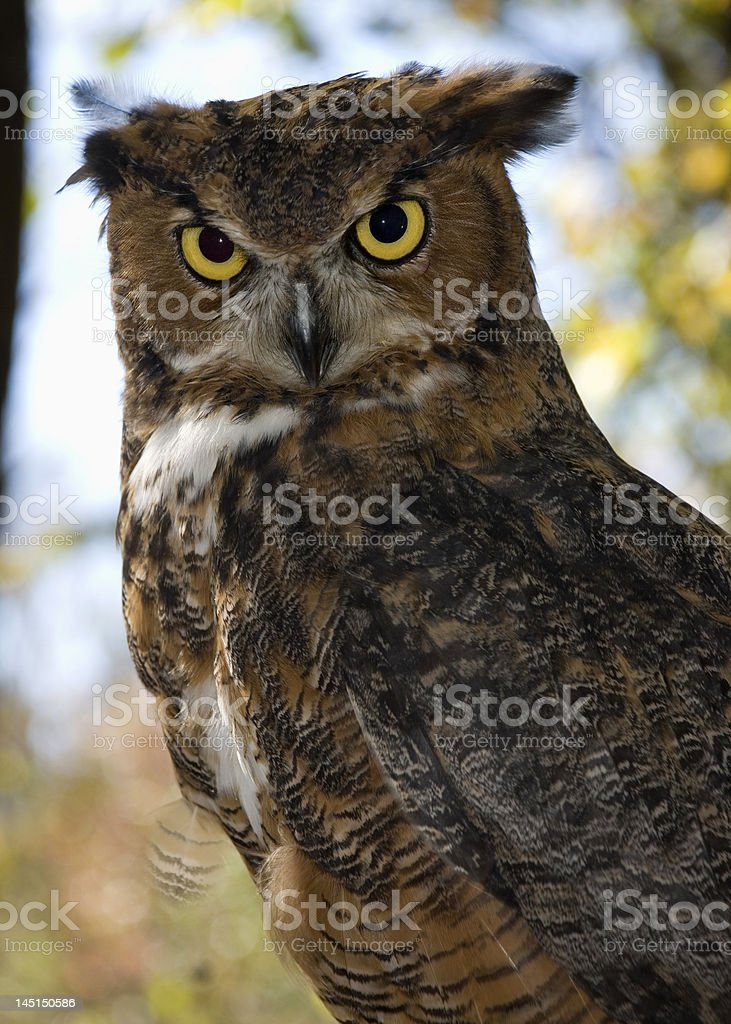 great horned owl, adult stock photo