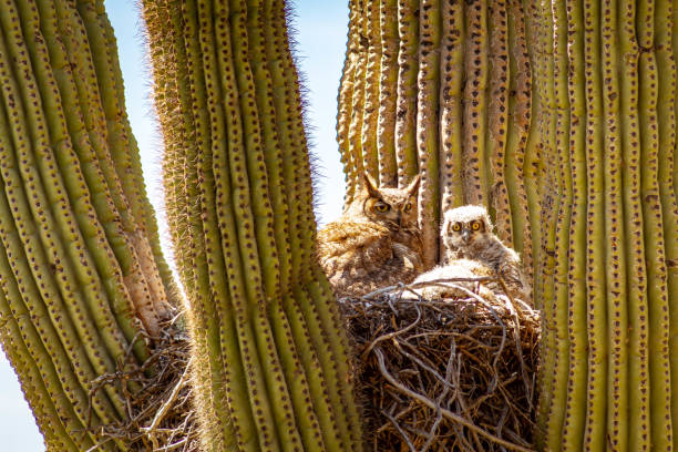Great Horned Owl and Baby in Cactus stock photo