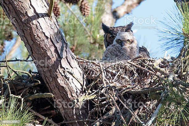 Great horned owl and owlet in nest picture id469509952?b=1&k=6&m=469509952&s=612x612&h=tbxnzvri1daeqvvrc0xahvgcpbiatchytdufrhnkuoo=