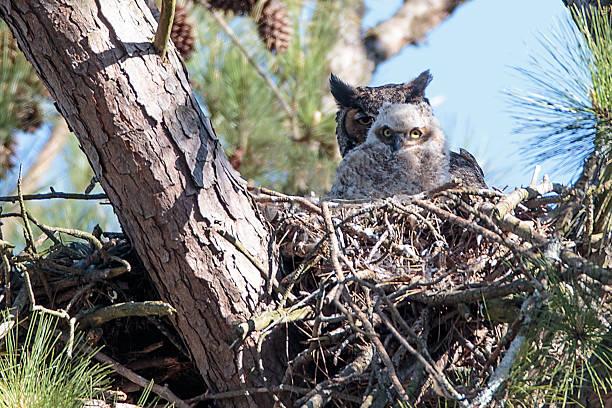 Great horned owl and owlet in nest picture id469509952?b=1&k=6&m=469509952&s=612x612&w=0&h=fylibzoyjqk3xcuyisuzrq22k9v1fdyl7 8vb6u3xei=