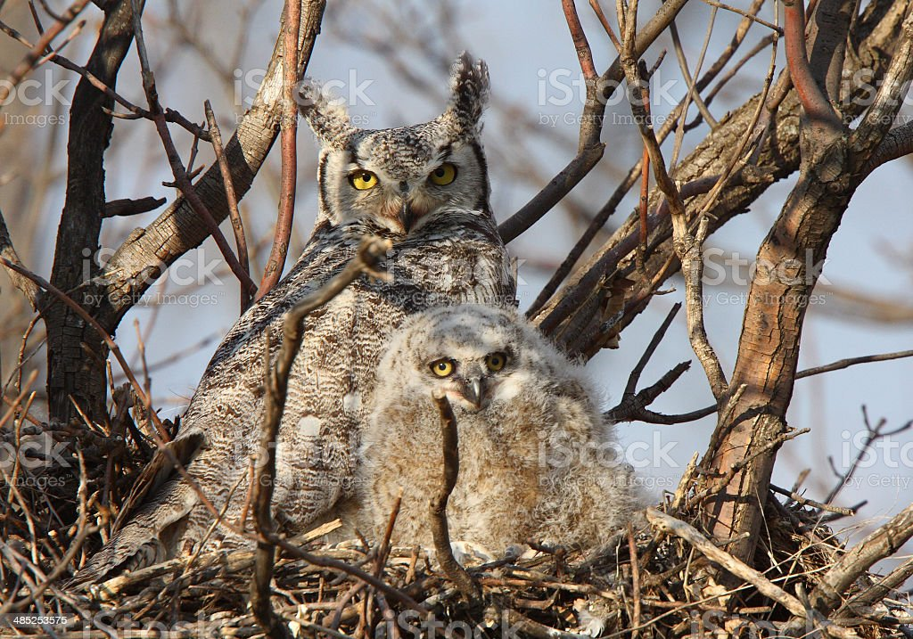 Great Horned Owl and owlet in nest stock photo