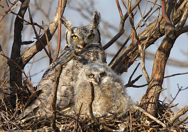 great horned owl and owlet in nest - amerikaanse oehoe stockfoto's en -beelden