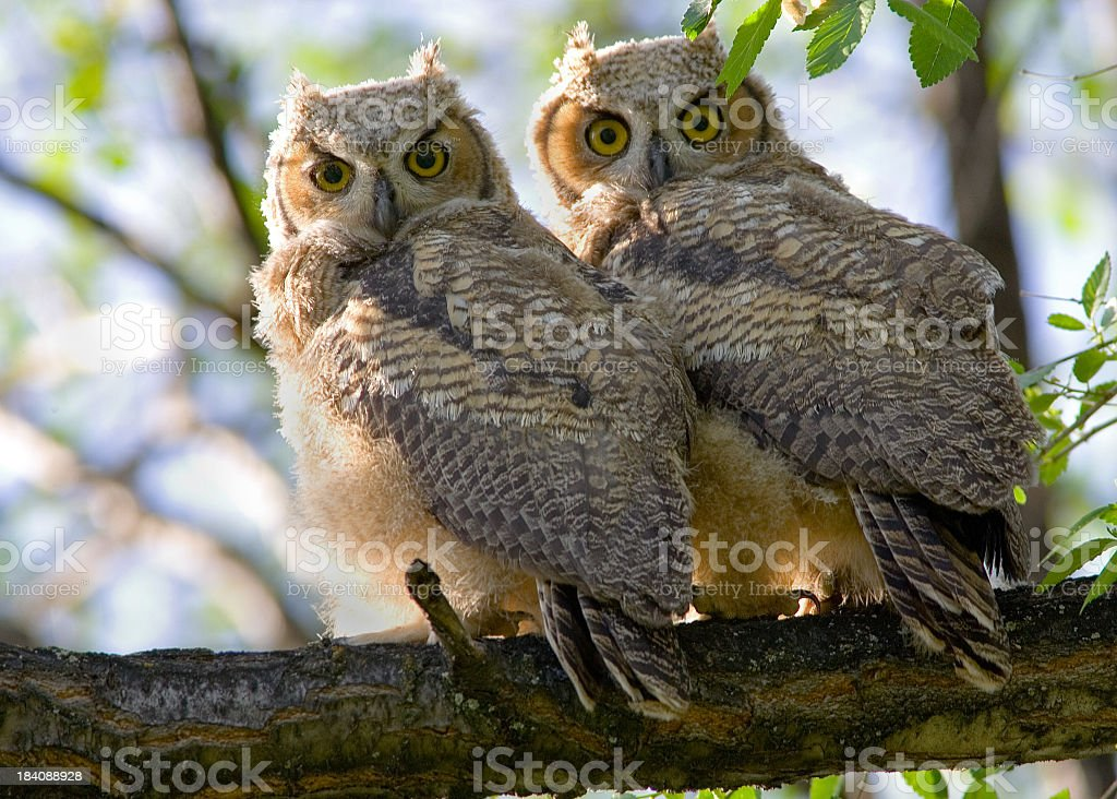 Great Horned Owl Baby Owlets royalty-free stock photo