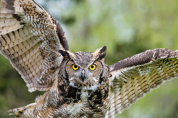 great horned owl, bird of prey in flight, bubo virginianus - owl stock photos and pictures