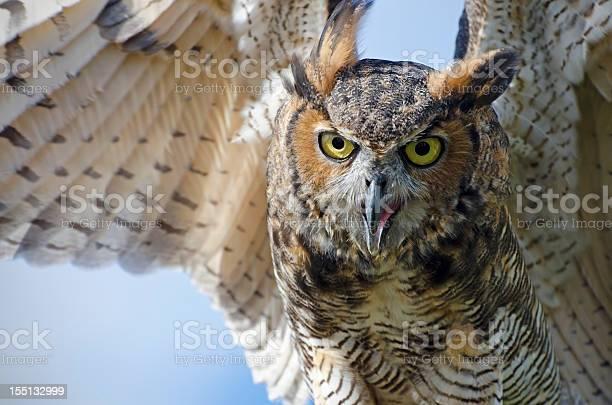 Great horned owl bubo virginianus picture id155132999?b=1&k=6&m=155132999&s=612x612&h=lvpgms2xvmudxkyfatnikzybxb1sjjtw tlpm3z8cci=