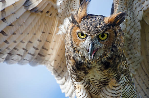 great horned owl, bubo virginianus - amerikaanse oehoe stockfoto's en -beelden
