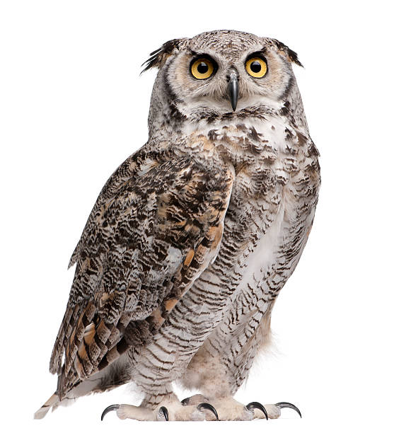 great horned owl, bubo virginianus subarcticus - owl stock photos and pictures