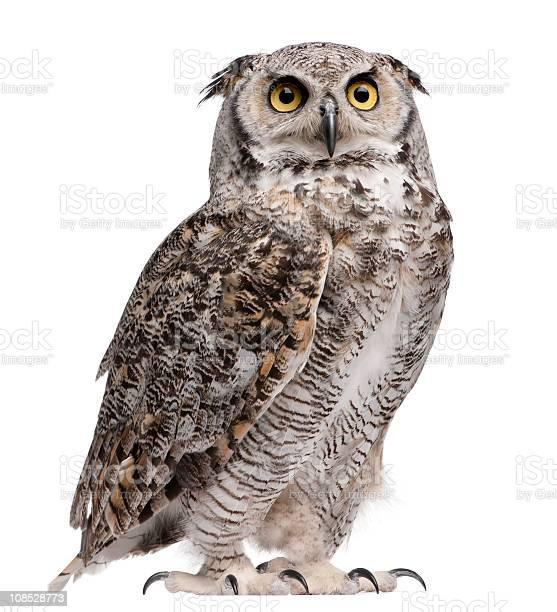 Photo of Great horned owl, Bubo virginianus subarcticus